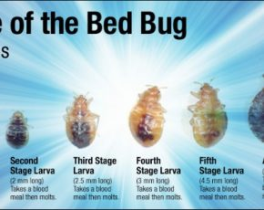 The Many Ways You Can Get Rid of Bed Bugs Permanently