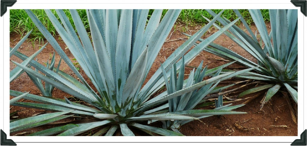 The Agave Plant at A distance...