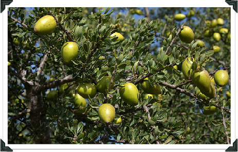 Argan tree with fruits