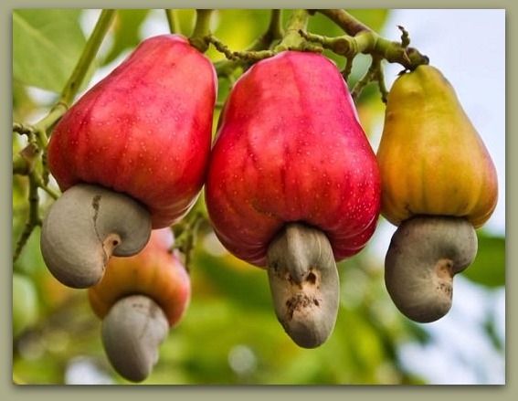 Cashew Nut Historical Origin and Description